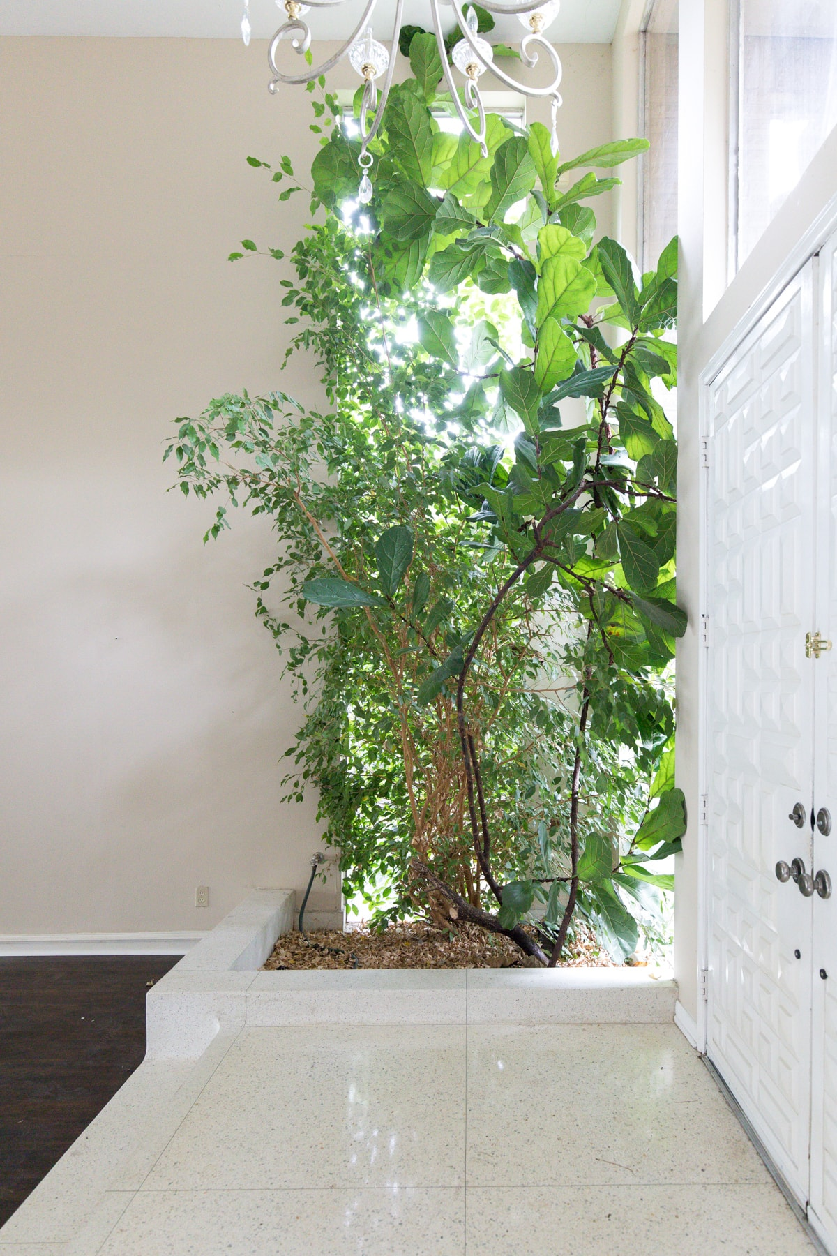 the stunning fiddle fig in the living room foyer! - One Room Challenge Week 1: The Before Photos of Our Living Room + Dining Room by top Houston lifestyle blogger Ashley Rose of Sugar and Cloth #decor #homedecor #diy #interiors #renovations